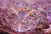 Man Frog - Ceratophrys Ornata poster