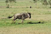 picture of wildebeest  - Wildebeest in the National Reserve of Africa Kenya - JPG