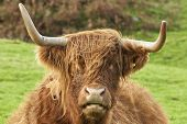 picture of highland-cattle  - Portrait of the head of a Highland Cow Mull Scotland - JPG