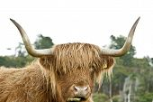 foto of highland-cattle  - Portrait of the head of a Highland Cow Mull Scotland - JPG