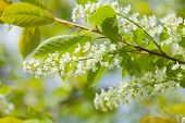 picture of plant species  - natural seasonal background of Bird cherry blooming - JPG