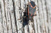 picture of tobacco barn  - Boxelder bug crawls on a tobacco barn  - JPG
