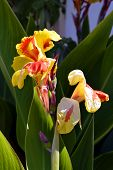 stock photo of cleopatra  - Canna generalis  - JPG