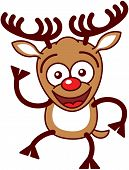 picture of bulging belly  - Nice brown reindeer with big antlers and red nose while staring at you - JPG