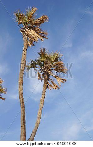 Doum palm trees