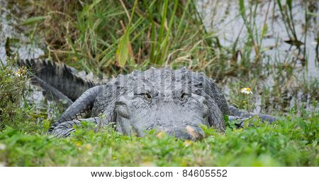 Alligator in Grass