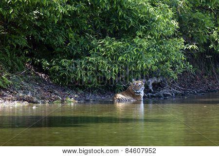 Wild Bengal Tiger In Bardia, Nepal
