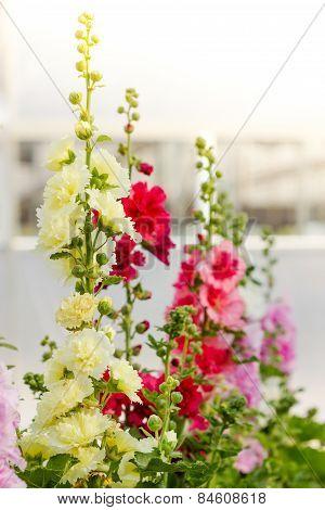 Hollyhock Spring Celebrity Flower