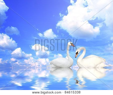 Two mute swans on blue water