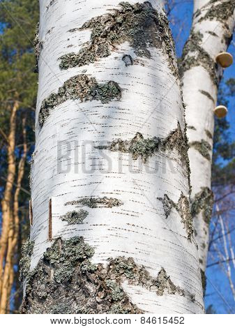 Part of the birch trunk closeup