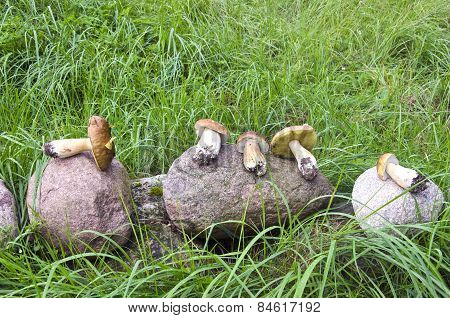 Mushrooms Cep Boletus On Stone