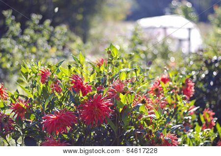 Blur Summer End Dahlia Flowers In Farm Garden