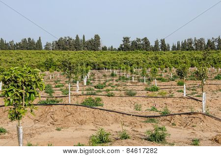 Newly Planted Young Trees