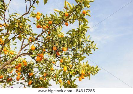 Branch Of Mini Oranges (kumquats) Against A Blue Sky