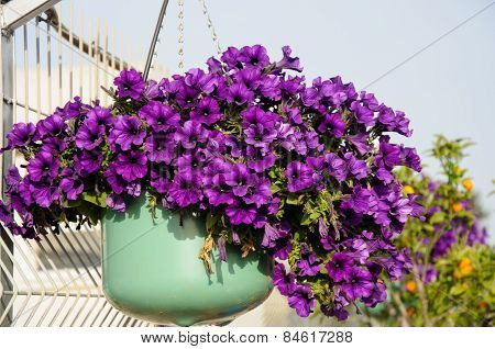 Purple Petunia In Flowerpot