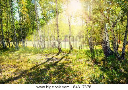 Green Birch Forest In The Sunshine
