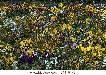 Background of pansy or Viola tricolor flower