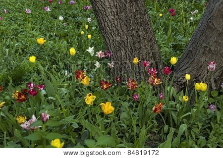 Background of tulip blossom flower and  tree