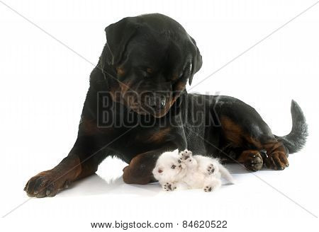 Rottweiler And Kitten Exotic Shorthair