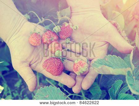 Farmer shows ripe organic strawberries on plant, toned image