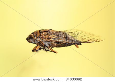 Brazilian Cicada