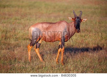antelope on a background of green grass