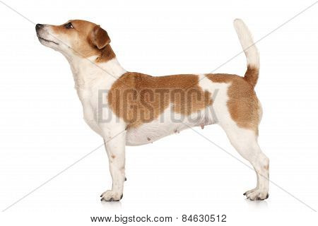 Jack Russell Terrier In Standing