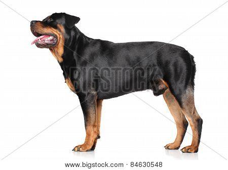 Rottweiler Standing