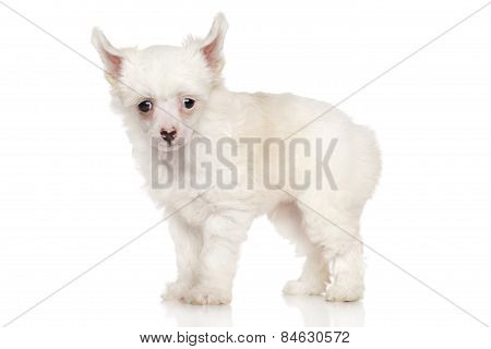Chinese Crested Dog 4 Weeks Old