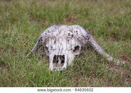 Buffalo Skull in  Savannah, Southern Africa