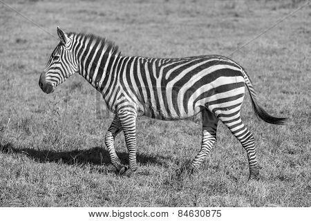 Zebra in the grasslands