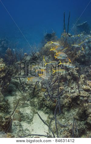 School Of Schoolmaster And Yellow Goatfish
