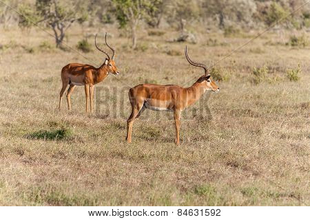 Two antelopes on a background of grass