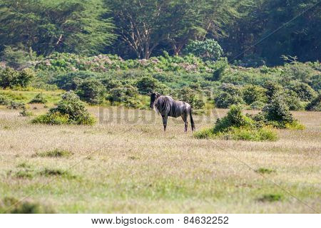 antelope wildebeest migration in Kenya
