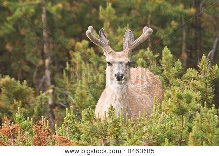 Deer With Velvet Antlers
