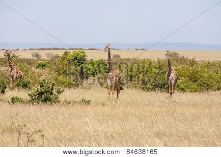 Three giraffe standing in grassland