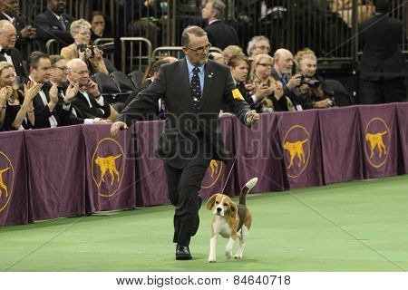 NEW YORK-FEB 17: Miss P, a 15-inch beagle is shown by William Alexander before winning Best in Show award at the 139th Annual Westminster Kennel Club Dog Show on February 17, 2015 in New York City.