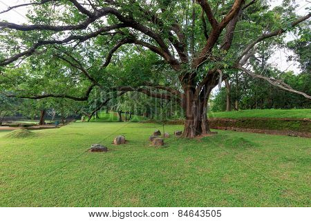 Big ficus tree in Sigiriya Garden