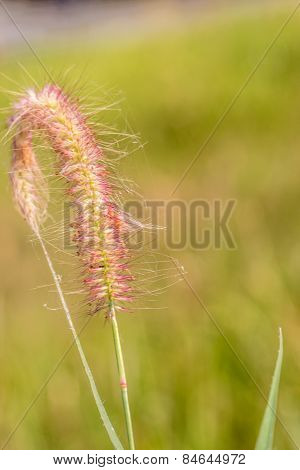 Closeup Gramineae Grass