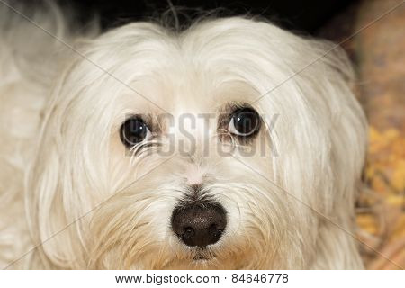 Maltese Dog Breed.