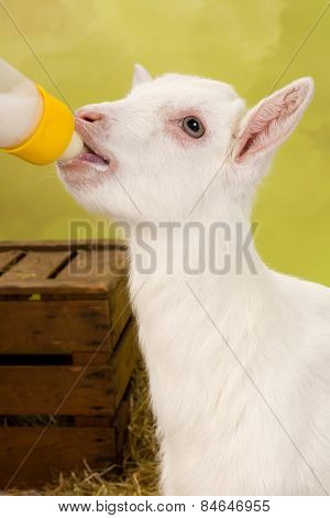 Hand feeding a ten days old baby goat with a milk bottle