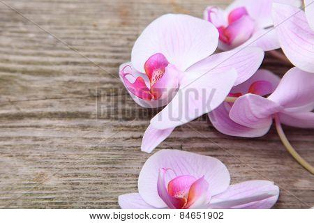 Orchid(phalaenopsis )