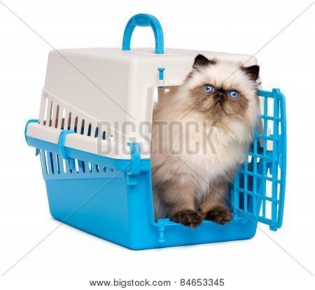 Cute Persian Colourpoint Kitten Looking Out From A Pet Crate