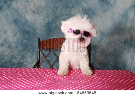 A pure breed Bichon Frise is One Cool Cat in her styling Sun Glasses