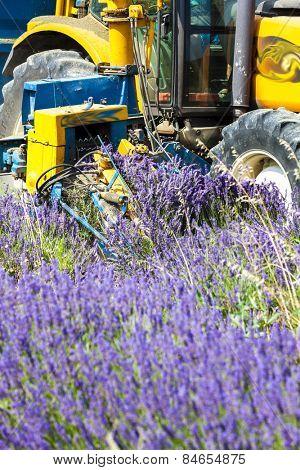 lavender harvest, Rhone-Alpes, France
