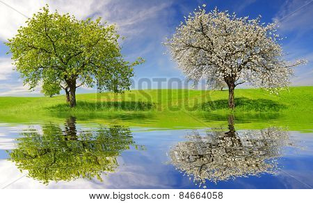Deciduous and flowering tree