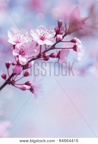 Springtime blooming tree background, gentle fresh cherry tree blossom, beautiful Japanese garden, beauty and tenderness of nature concept