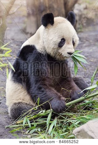 Giant panda bear sitting and eatig bamboo