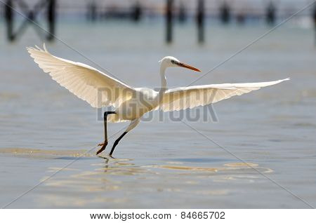 white egret flying outdoor (egretta garzetta)
