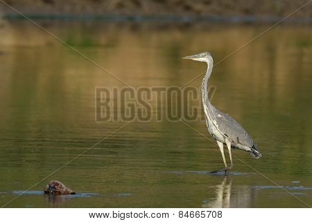grey heron in natural habitat (ardea cinerea)